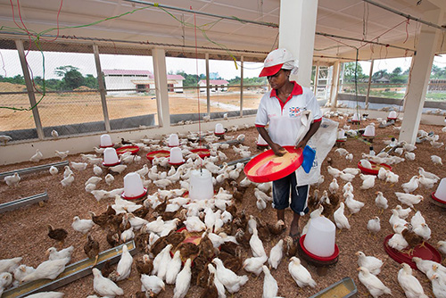 Poultry mill in Liberia produces 3,000 chicks a week